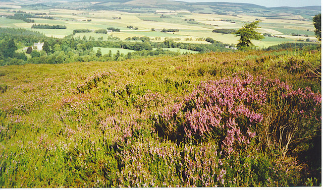Purple Heather Blooming on the Moorland of Suie Hill.