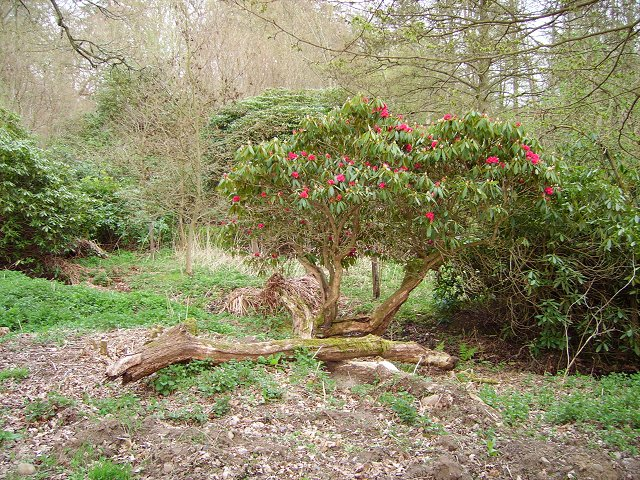 Rhododendron, Dundock Wood