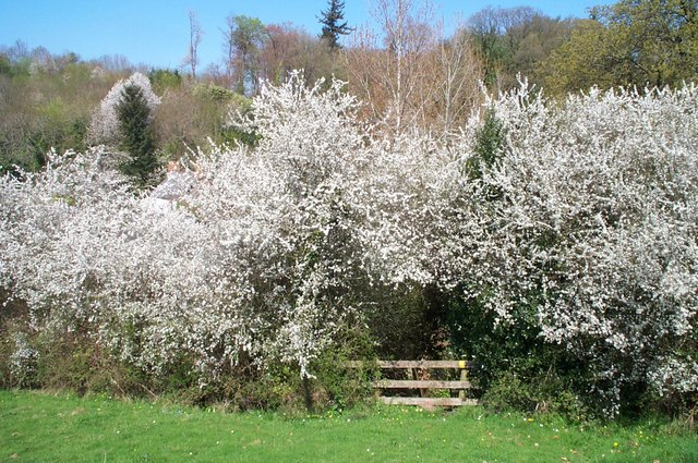 Stile framed in blackthorn.