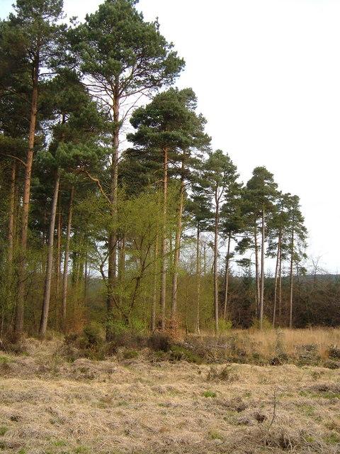 Pine trees on Haldon