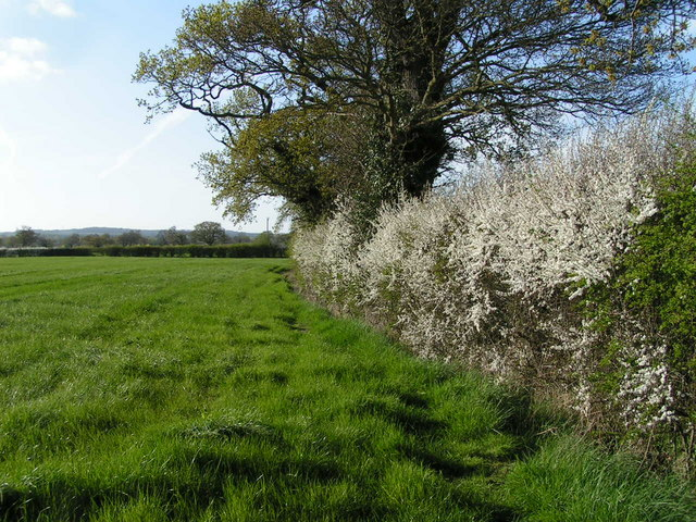 Hedgerow near Honkley