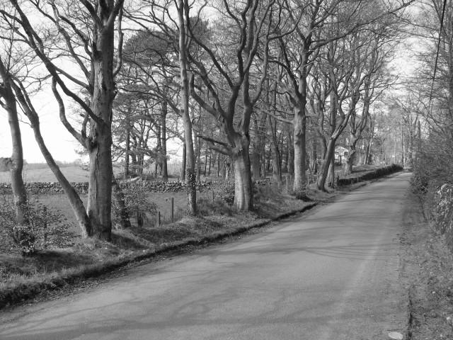 Beech lined road