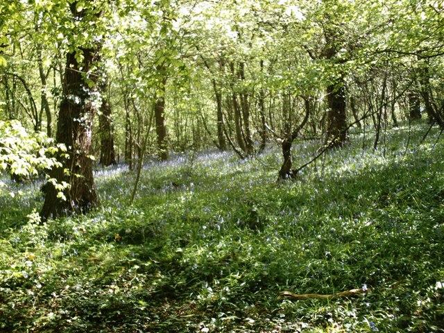 Beckney Wood - Bluebells