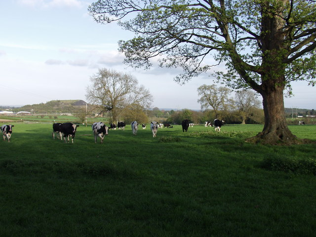 Dairy heifers and possibly a Welsh Black Bull
