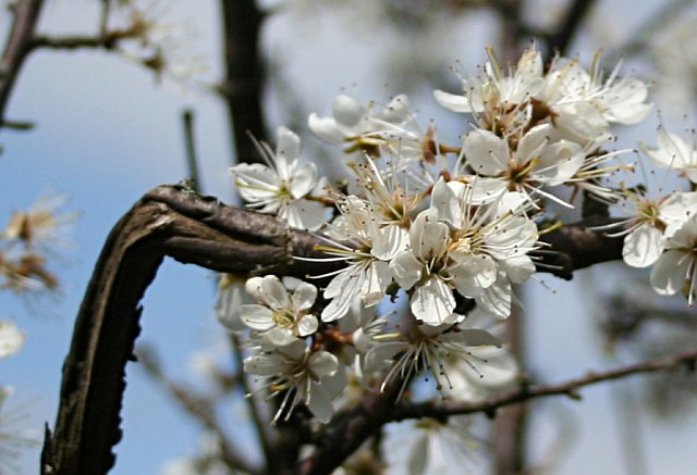 Blackthorn in flower - Prunus spinosa