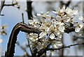 SW7536 : Blackthorn in flower - Prunus spinosa by Tony Atkin