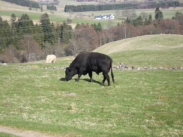 Bulls in a field