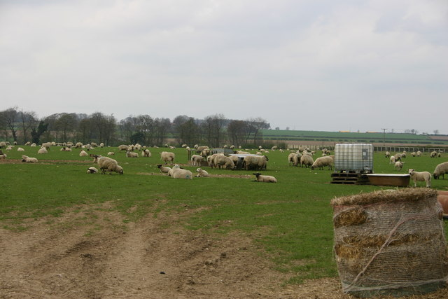 Sheep farming on the Yorkshire Wolds