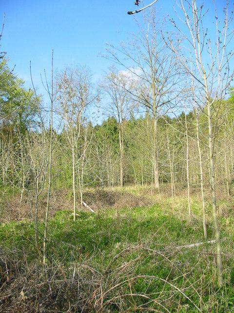 Ash plantation Micheldever Wood Hampshire