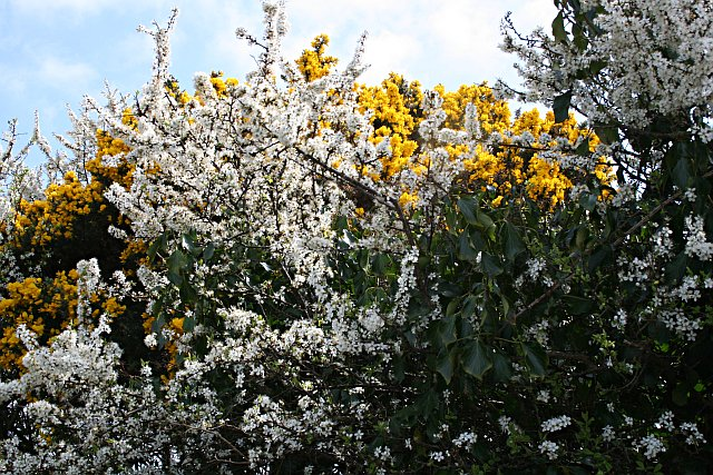 Spring Hedgerow with Blackthorn and Gorse