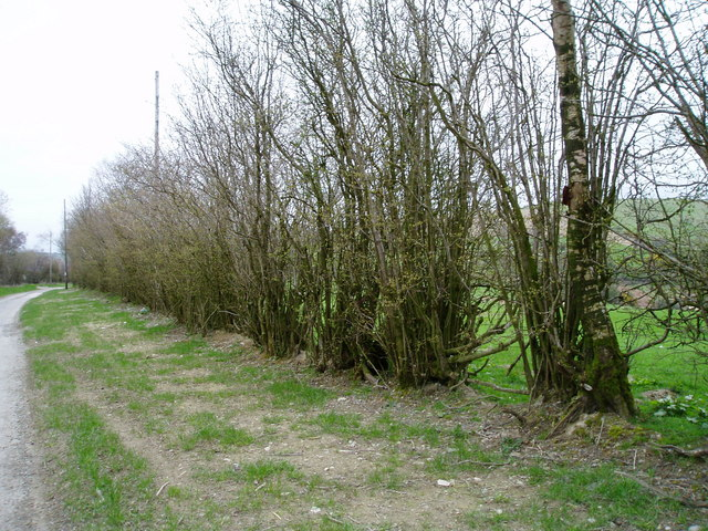 Coppiced hedge