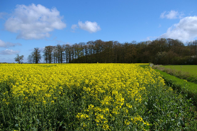 Hoe Wood and Oilseed Rape