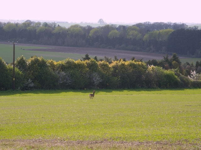 Stag in field south of Manor farm, Newton Stacey