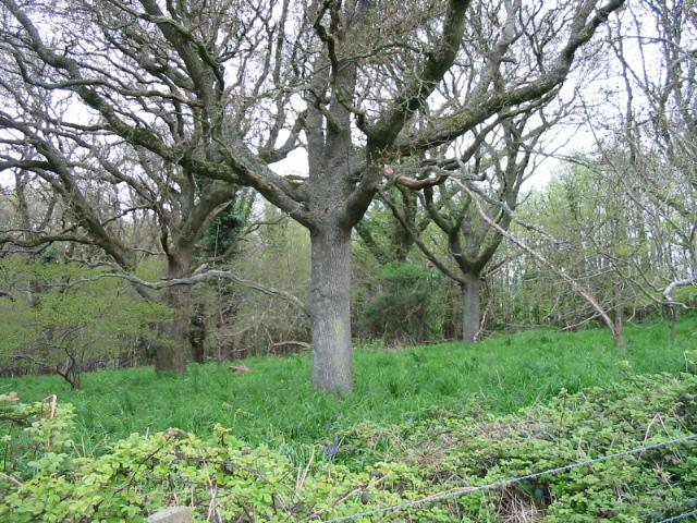 Wyke Wood near Langton Herring
