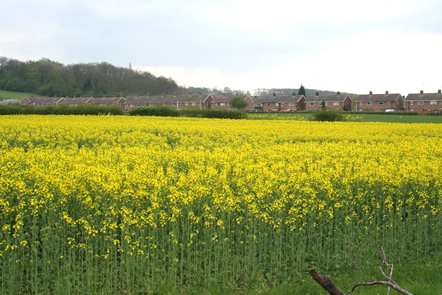 Oil Seed Rape at Cotgrave