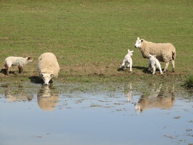 Sheep reflections