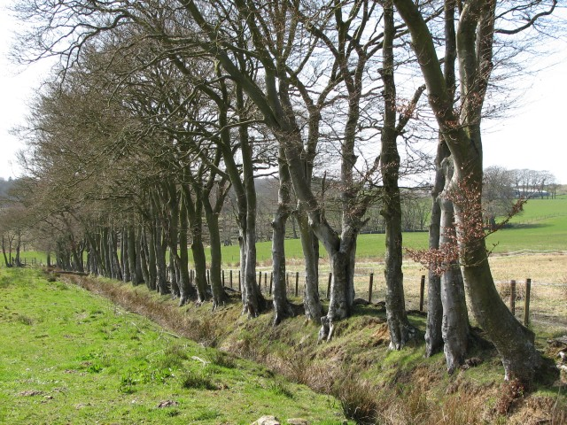 Grown up beech hedge