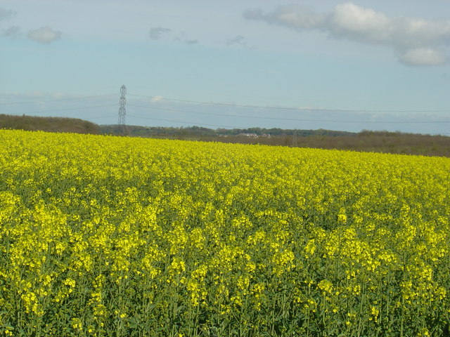 A field of oil seed rape.
