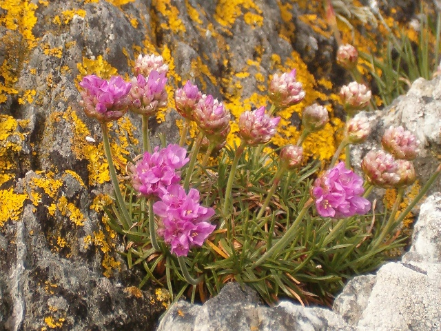 Sea pinks at Craignish Point