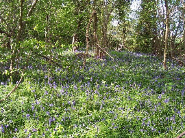 Mayall's Coppice Bluebells on May Day