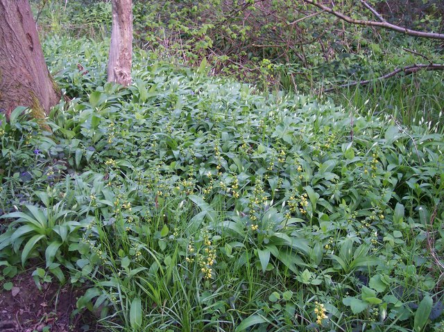 Yellow Archangel and Wild Garlic on May Day