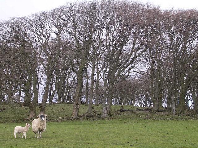 Drumheldric Beech Plantation with Posing Sheep