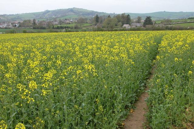 Oil Seed Rape Crop near Clun