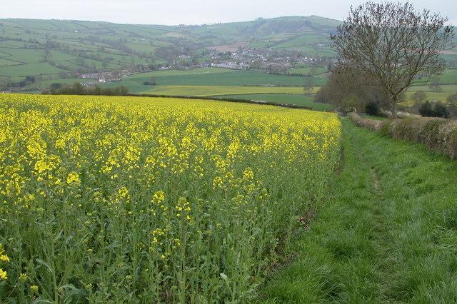 Oil Seed Rape Crop near Radnor Wood