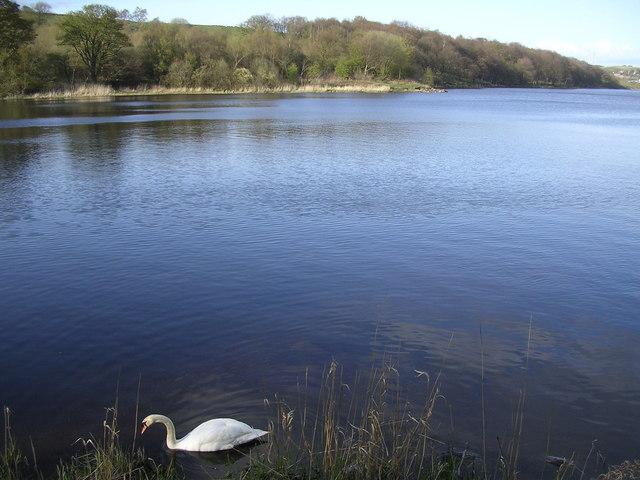 Lone Swan on Banton Loch