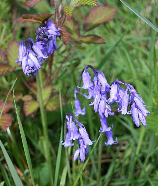 Bluebell - Hyacinthoides non-scriptus