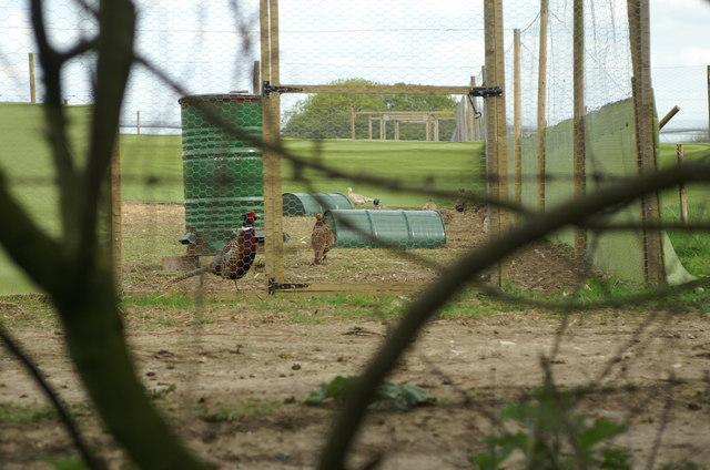 Pheasant Rearing, Compton End