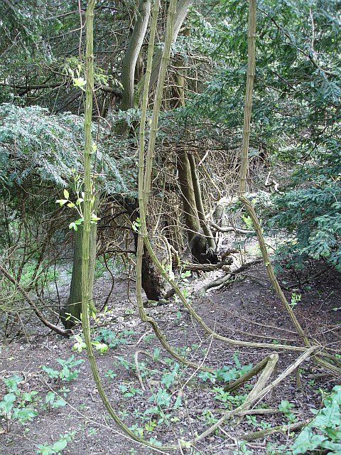 Yew and woodbine