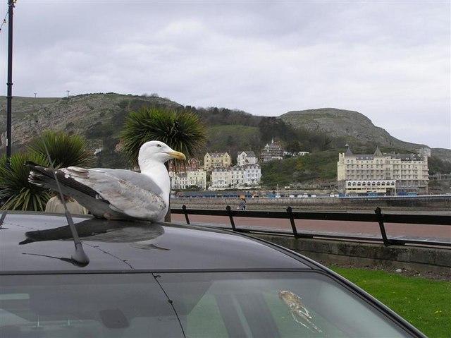 Gull on car, Llandudno