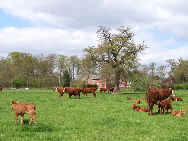 Cattle and Burtley Wood