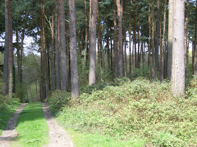 Pines near Hillmotts Farm