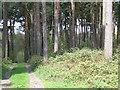 SU9688 : Pines near Hillmotts Farm by Andrew Smith
