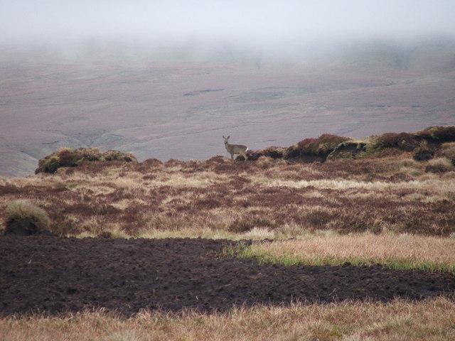 Deer at Dike Head.