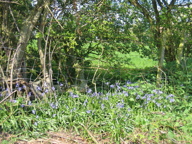 Bluebells near Cracknut Hill