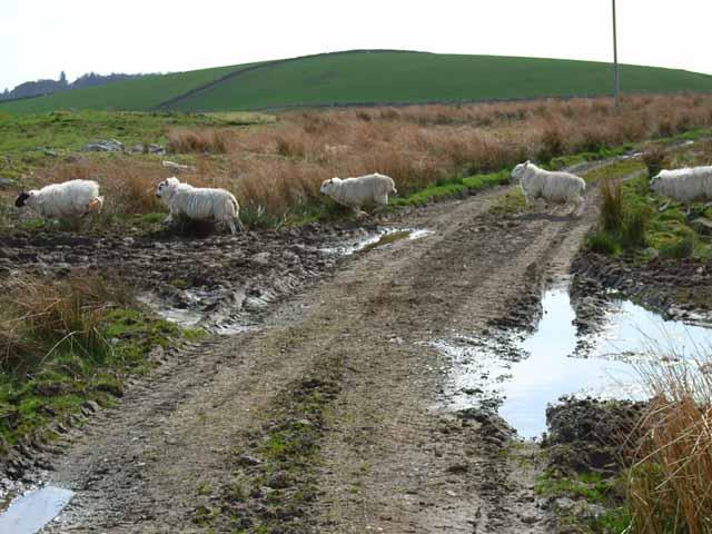 Sheep crossing on Eldrig Moss