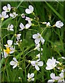SW7631 : Cuckooflower - Cardamine pratensis by Tony Atkin