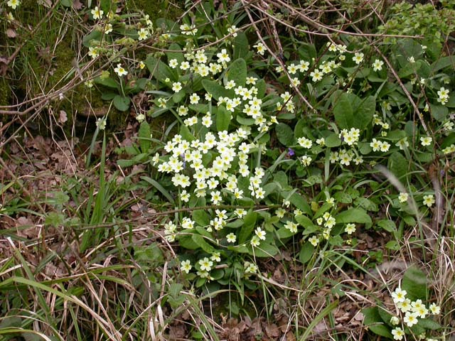 Primroses in the Ditch