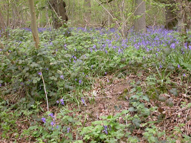 Bluebells in Swineshead Wood