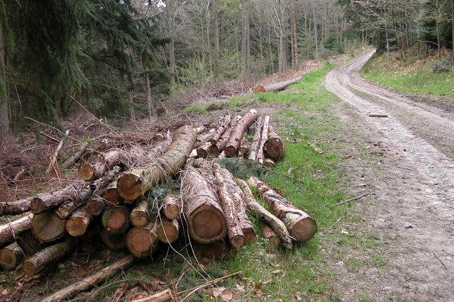 Tree trunks in Sowdley Wood