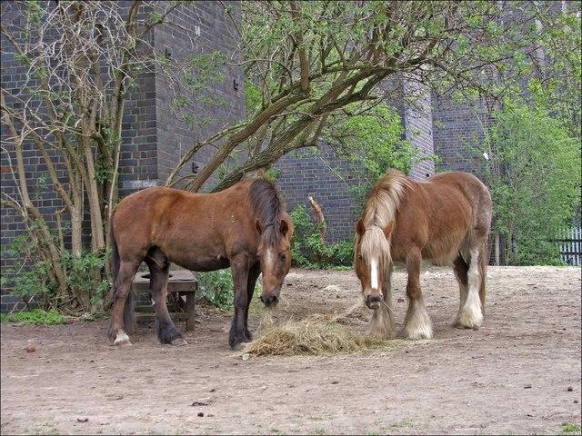 Ponies near Digswell Viaduct, near Welwyn Garden City, Hertfordshire