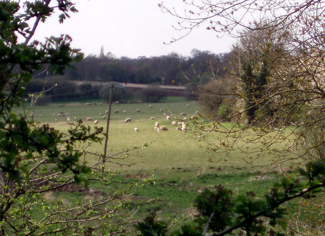 Sheep graze in Hapton viewed from Marsh Lane.