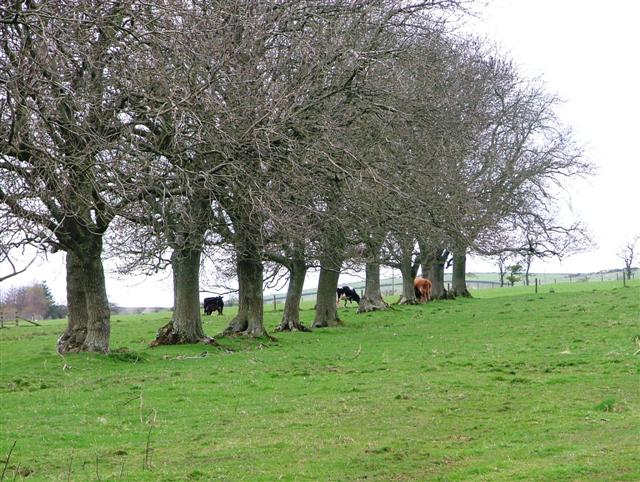 Line of Trees, Kingcairn Hill