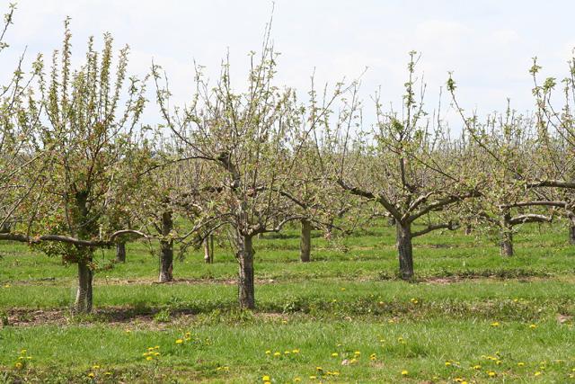 Oake: orchard at Hillcommon