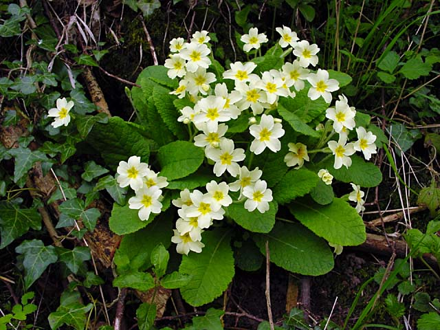 Primroses grown in the banks of the lane