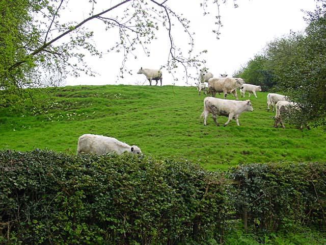 Cattle in a field, Denstone