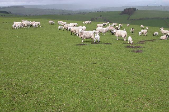 Sheep and Lambs beside the Kerry Ridgeway